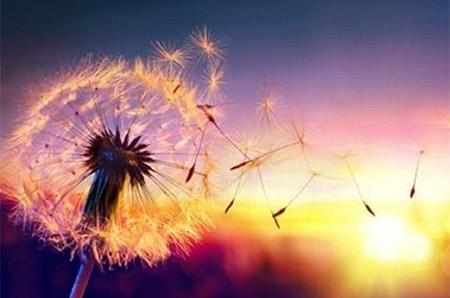 Le coaching transcendance représenté par un pissenlit dont les graine s'envole au gré du vent lors d'un coucher de soleil